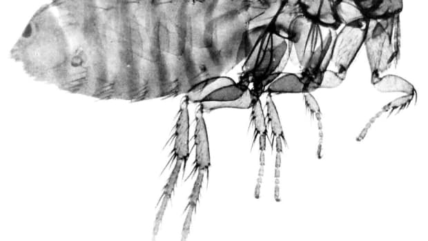 flea-infestation-understand-seek-and-destroy
