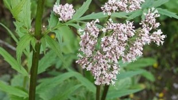 how-to-grow-valerian-valeriana-officinalis