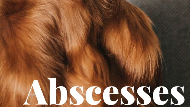 abscess-in-dogs-symptoms-treatment-and-drainage