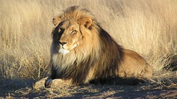 lions-hunting-behaviour