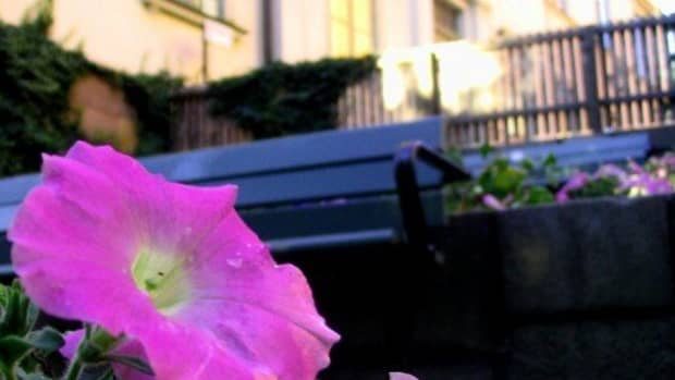 petunia-flower