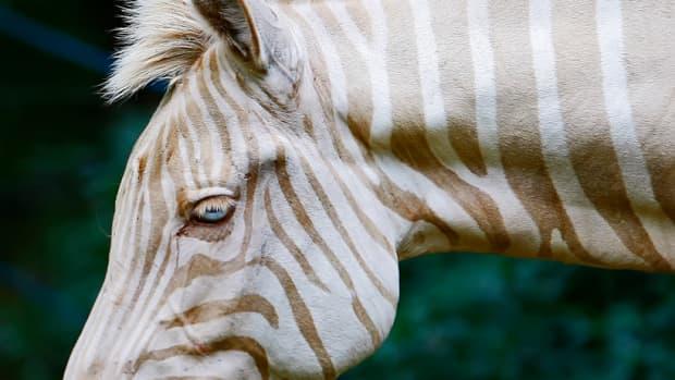 meet-zoe-the-rare-golden-zebra