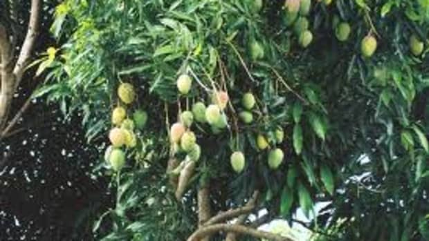 sprouting-a-mango-tree-from-seed