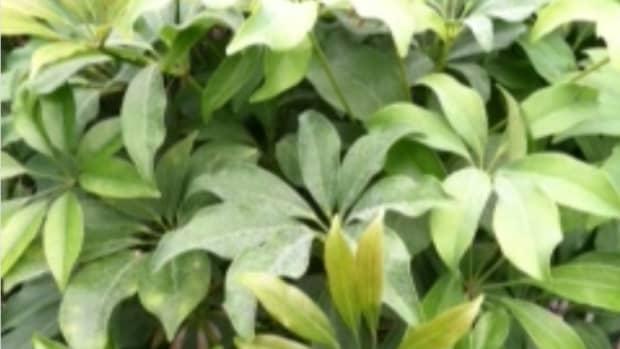 caring-for-schefflera-umbrella-plant-arboricola-amati