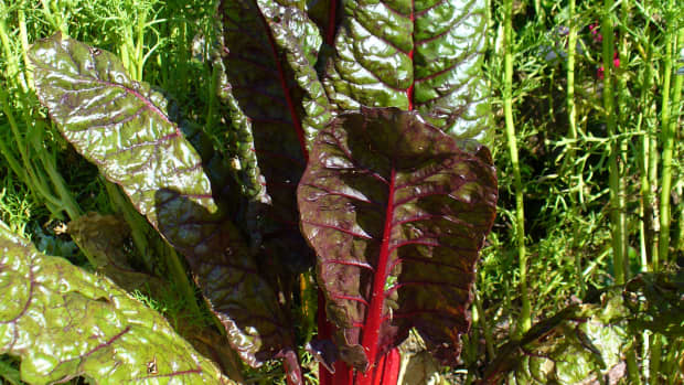 silverbeet-swiss-chard-and-its-health-benefits