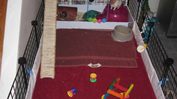 how-to-potty-or-litter-box-train-your-guinea-pigs