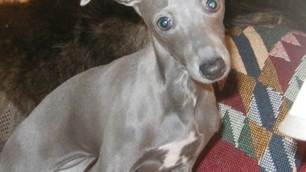 italian-greyhounds-is-it-the-right-dog-for-you