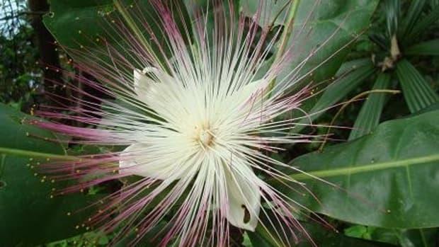 fantastic-botanicals-fish-poison-tree
