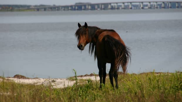 camping-with-the-wild-ponies-on-assateague-island