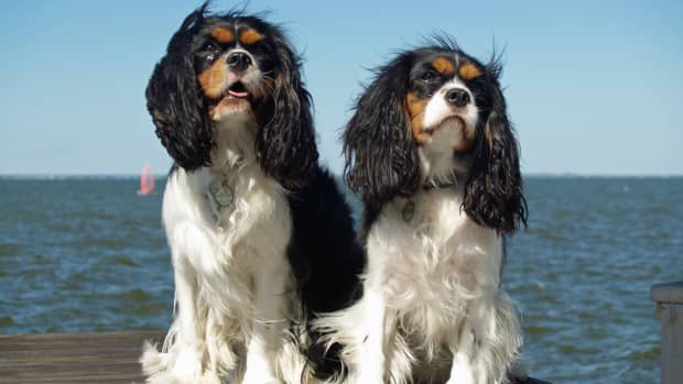 managing-eye-conditions-in-dogssymptoms-types-causes-and-suggested-treatment