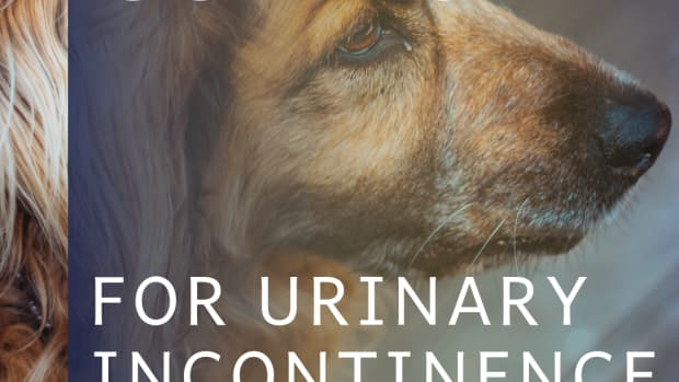 treating-canine-urinary-incontinence-with-corn-silk