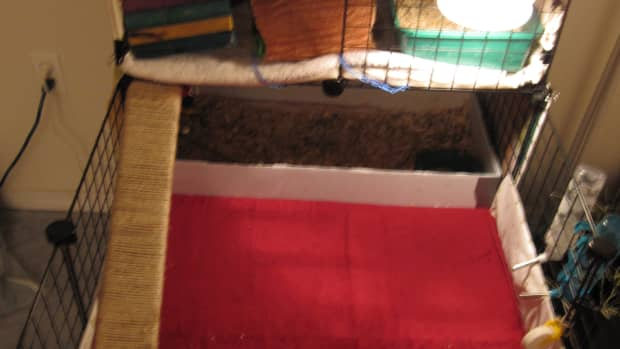 cleaning-the-guinea-pigs-cage-the-fast-and-easy-way