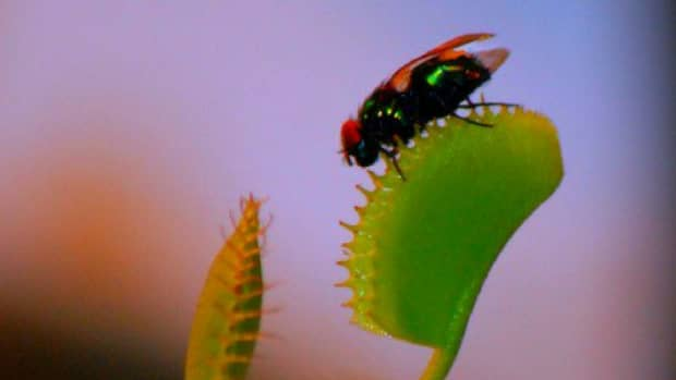 hungry-venus-10-things-on-how-to-care-for-a-venus-fly-trap
