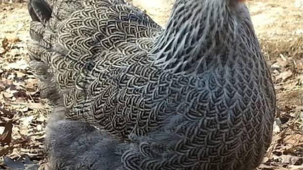 12-utterly-bizarre-chicken-breeds