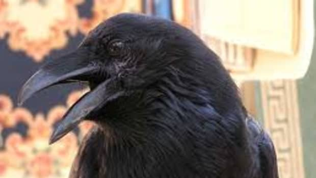 the-raven-and-the-wolf-a-study-in-symbiosis