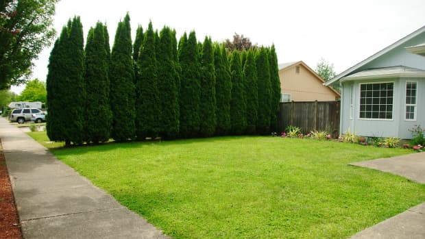 the-best-evergreen-trees-for-privacy