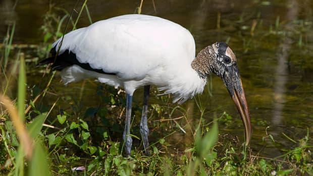 birds-of-the-florida-everglades