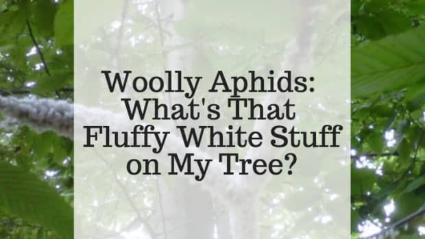 woolly-aphids-whats-that-fluffy-white-stuff-on-my-tree