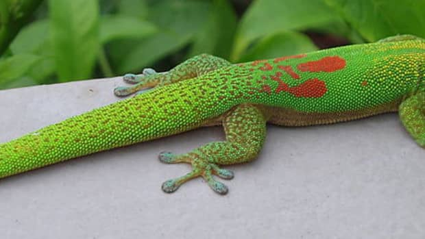 different-types-of-geckos
