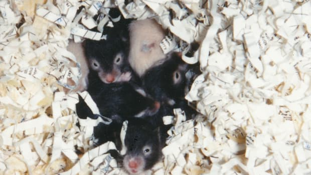 syrian-hamsters-care