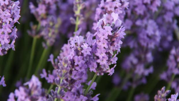 lavender-insect-repellent-recipe