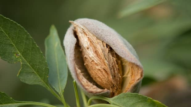 almond-tree-growing-facts-and-enjoying-almonds-for-the-holidays