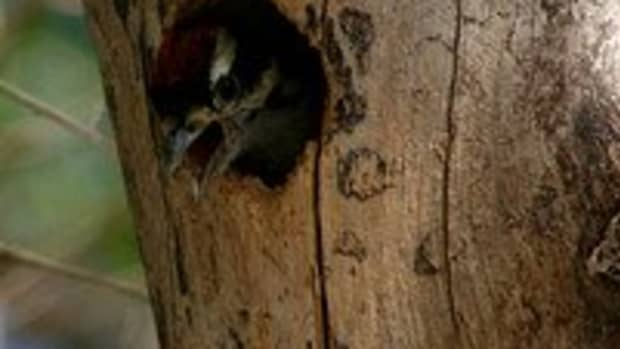 how-to-stop-woodpeckers-from-damaging-your-house
