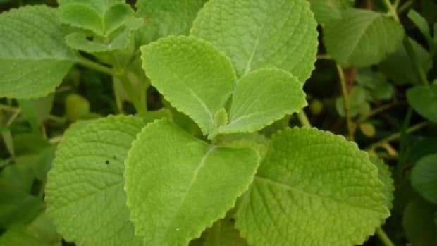 panikoorka-the-natural-anti-pyretic-and-home-remedy-for-cough-cold-and-fever-in-children-and-adults