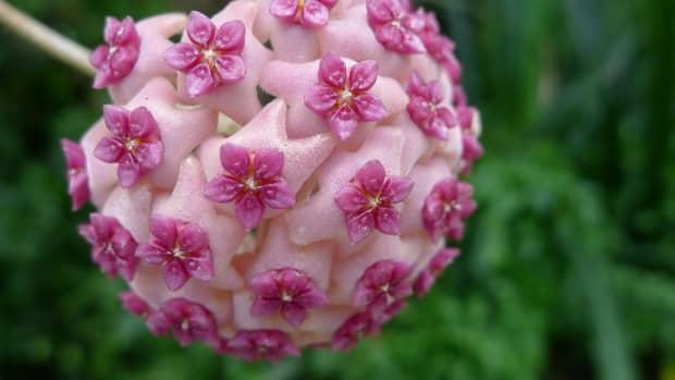 hindu-rope-plant-hoya-carnosa-compacta