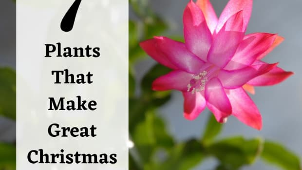 living-christmas-gift-ideas-7-holiday-plants-to-give