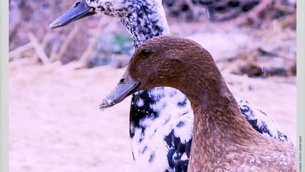 keeping-pet-ducks-and-geese