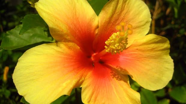 how-to-make-paste-shampoo-from-fresh-hibiscus-flowers-and-leaves
