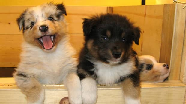 how-to-help-a-dog-whelp-or-deliver-puppies