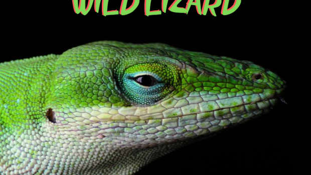 how-to-safely-catch-and-hold-a-wild-lizard