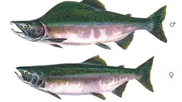 how-to-catch-pink-salmon