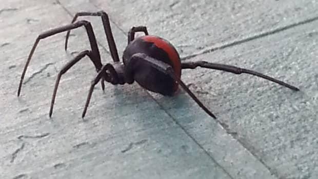 i-was-bitten-by-a-redback-spider