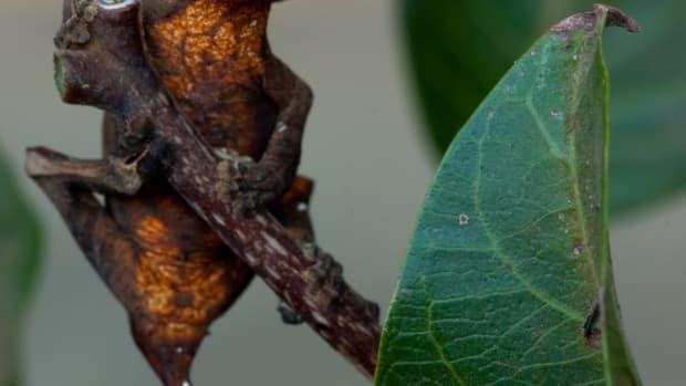 lizards-leaf-tailed-gecko