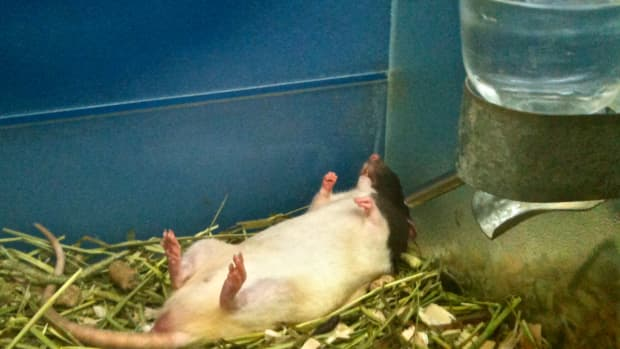 how-to-get-pet-rat-cages-cheap