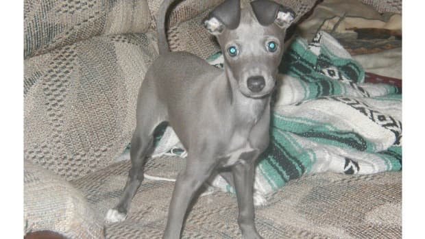 the-love-of-an-italian-greyhound