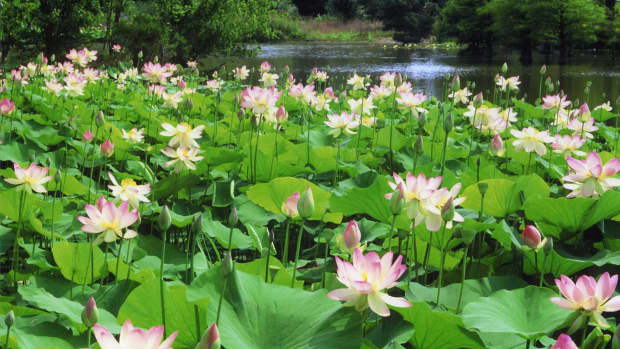 health-benefits-of-lotus-roots-or-stem-seeds-leaves-and-flowers