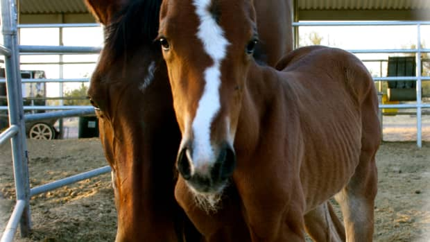 the-seven-stages-of-foaling-horse-overdue-mare-pregnancy