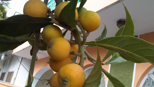 loquat-tropical-fruit