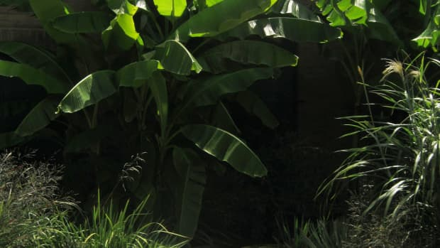 banana-tree-a-pass-around-friendship-plant