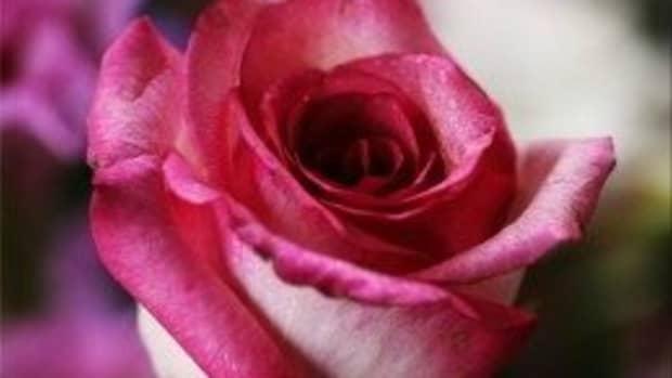 how-to-treat-blackspot-disease-on-roses