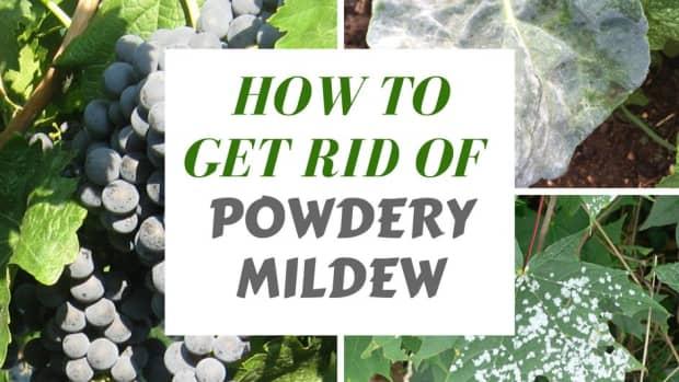 organic-methods-of-exterminating-powdery-mildew