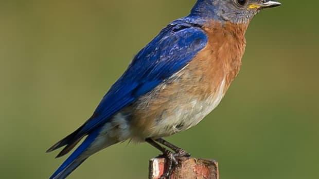 north-carolina-thrush-birds
