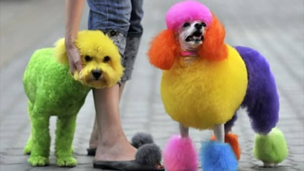 how-to-use-kool-aid-to-dye-a-dogs-hair