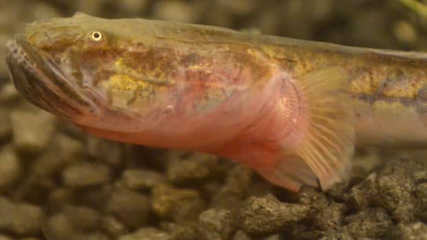 how-to-care-for-a-violet-goby-dragonfish