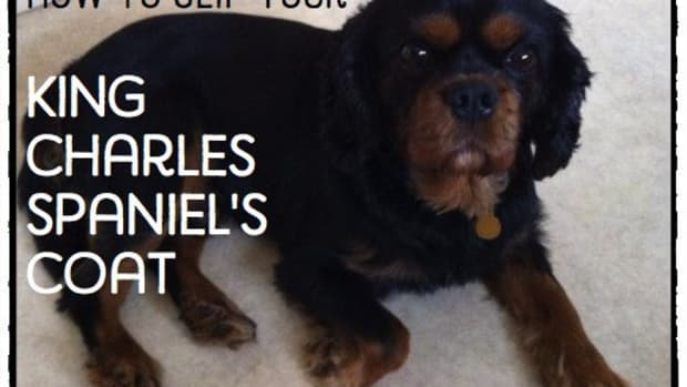 how-to-clip-a-king-charles-spaniel