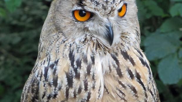birds-of-prey-the-eurasian-eagle-owl